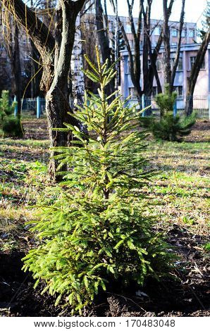 Young Fir Tree In A Park