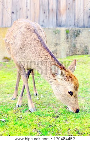 Cute Japanese deer eating grass in Nara Japan