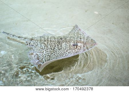 Stingray fish swimming in the sea over the sand