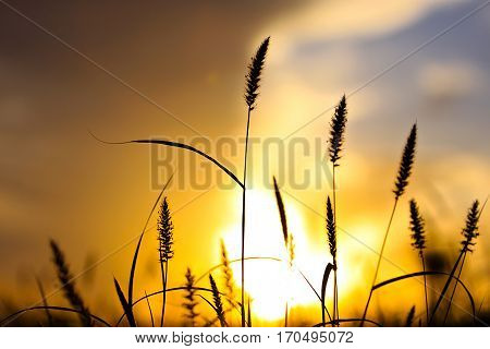 A shot of the brittle grass sunset silhouette at sunset