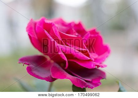 Love symbol red rose. Princess of flowers
