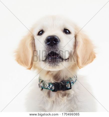 closeup picture of a golden retriever puppy dog looking up in studio