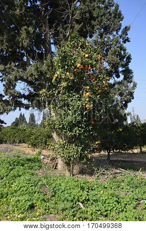 Lonely unharvested Oranges tree in the garden