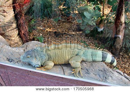Exotic Scaly Iguana