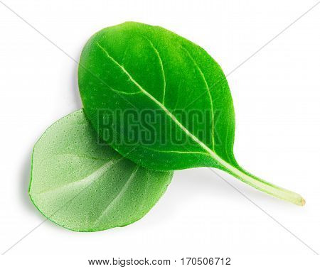 Fresh basil leaves on white background with clipping path.