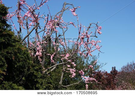 This is an image of the first blossoms after winter pruning of a plum tree in Carmel, California, USA.