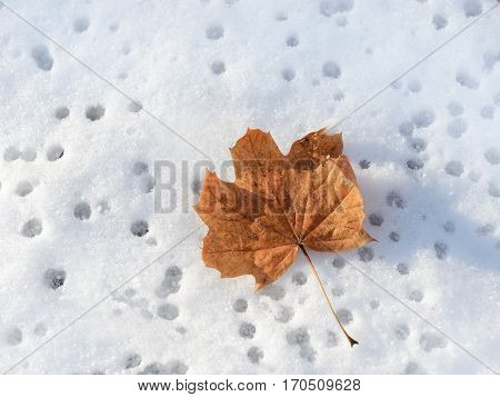 Close up of dry autumn leaf on snow.