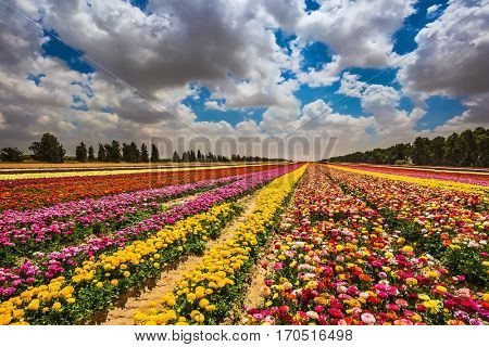 Farm field of flowers. Garden buttercups bloom in bright colors. A walk on a sunny day. The concept of eco-tourism