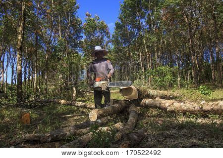 PHUKET, THAILAND - 04 FEBRUARY 2017: Deforestation of tropical rainforest. Lumberjack cuts trees, destroying natural resources for palm oil industry.