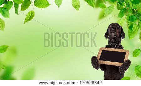 Beautiful mutt black dog Amy holding small black table, close-up. poster