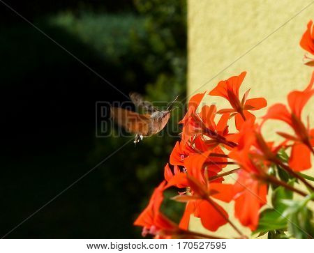 Photo of the hummingbird hawk-moth flying next to a red flower