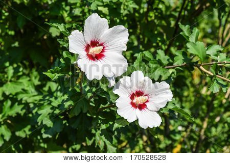 Red white flowers with five petals. Two flowers are not branches of a tree.