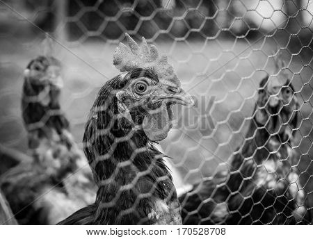 Chickens looking through wire fence black and white