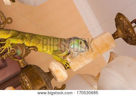 one green iguana lizard .reptile sit on chandelier