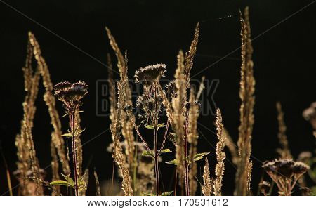 Grasses in late summer are illuminated by the sun