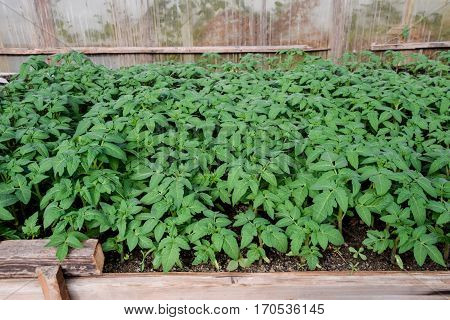 Seedlings Of Tomato. Growing Tomatoes In The Greenhouse. Seedlin
