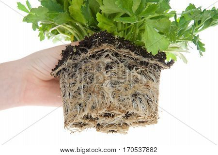 Ranunculus flower root bound. As plants grown in containers mature their developing roots eventually will run out of space. When this happens the plant becomes root-bound