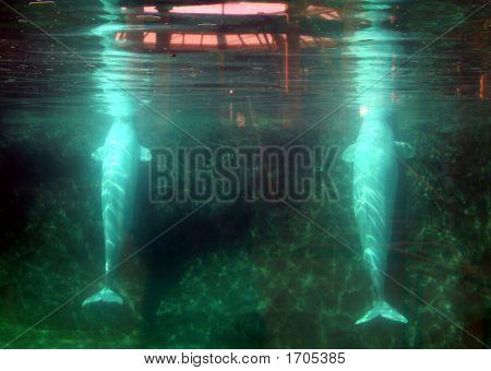 2 Belugas
