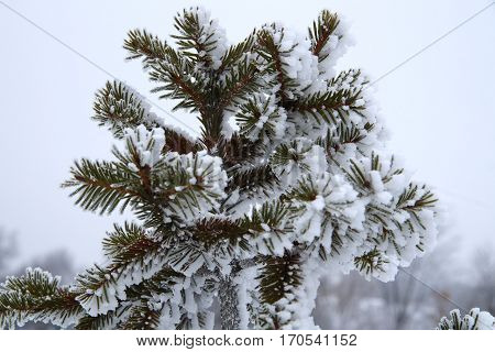 Fir-needle And Snow