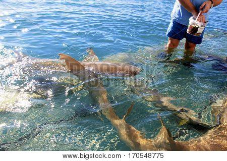 Tawny Nurse Sharks (Nebrius ferrugineus) being fed fish at Talbot Bay, Western Australia.
