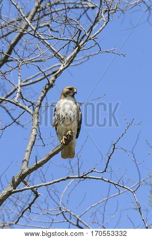 Red-tailed Hawk perched and patiently scanning for prey