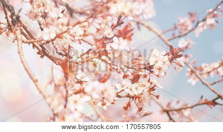 Beautiful flowers background, gentle white little flowers on the tree, cherry tree blossom, beauty of spring nature, photo with retro effect