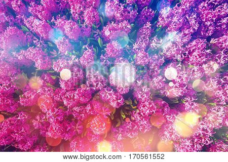 Spring pink hyacinth in the sun. Holland