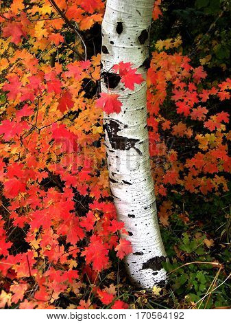Fall birch trees with autumn leaves in background details