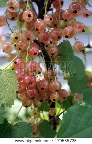 Clusters of translucent pink champagne currant fruits dangle on a currant bush (Ribes rubrum), in a garden in Joliet, Illinois during June.
