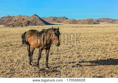 Side view of a brown horse stood in the landscape of the Namibian savannah, Africa.