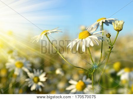 Chamomile blooming in the meadow in sunny day. Spring season.