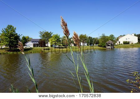 Common reeds (Phragmites australis) grow along the shore of a small lake in the Wesmere Country Club subdivision in Joliet, Illinois, during September.
