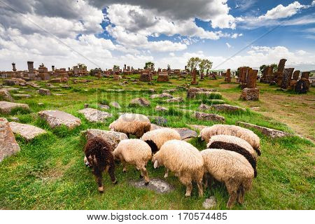 Sheep graze in Noratus Cemetery with Khachkars, Armenia