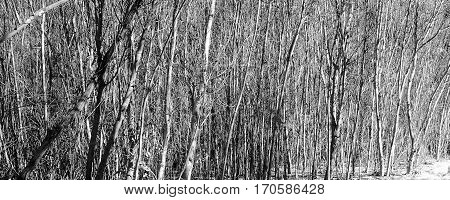 Stark view of a forest of trees in the winter with no leaves.