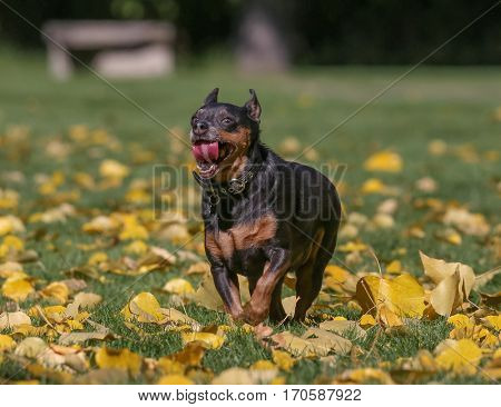 a cute chihuahua mix running through leaves at a park with a person chasing behind to catch him on a autumn day