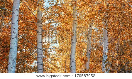 a beautiful fall scene with aspen trees turning orange in the woods
