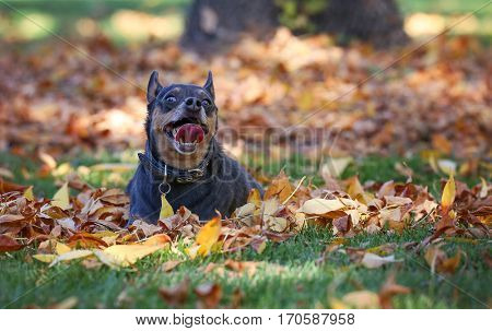 a cute chihuahua mix panting on a pile of leaves in a park in front of tree during autumn