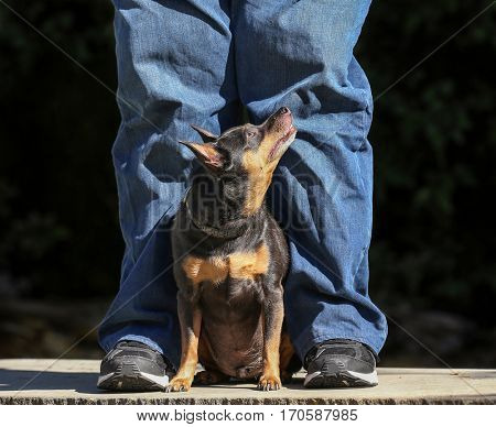a cute chihuahua mix looking up at his owner on a sunny day in a park while on a bench