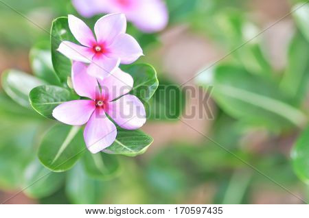 ludwigia adscendens or periwinkle flower in the garden
