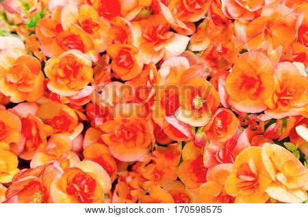 Numerous bright flowers of orange color begonias (Begonia tuberhybrida) in the garden.