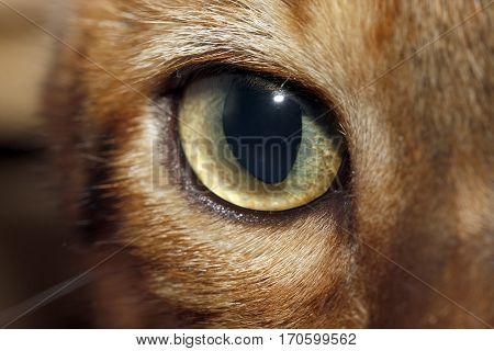 Bengal cat open big green eye great look