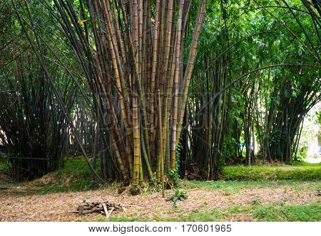 Green bamboo groove with green leaves photo taken in Kebun Raya Bogor Indonesia java