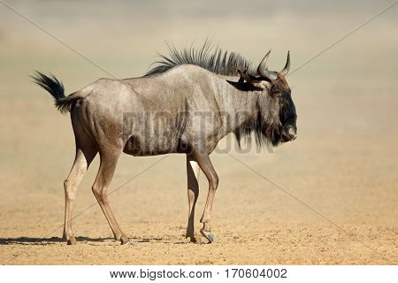 A blue wildebeest (Connochaetes taurinus) in dust, Kalahari desert, South Africa