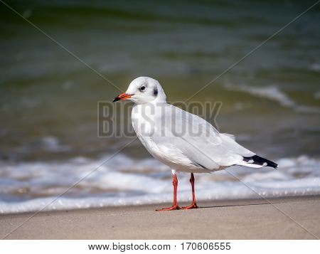 European herring gull on the beach sand against the sea