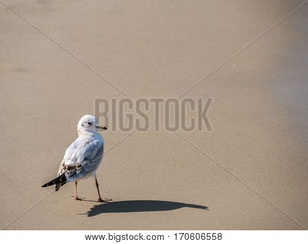 European herring gull on the beach sand