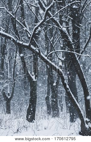 snow blizzard in the winter  forest