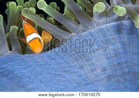 Nemo Clownfish, Amphiprion ocellaris