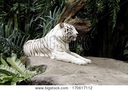 Albino Bengal tiger lying down sleepy feline