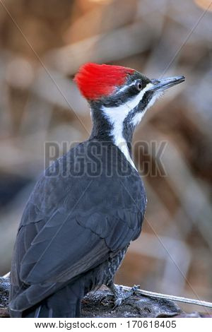 Pileated Woodpecker perched on tree trunk searching for food