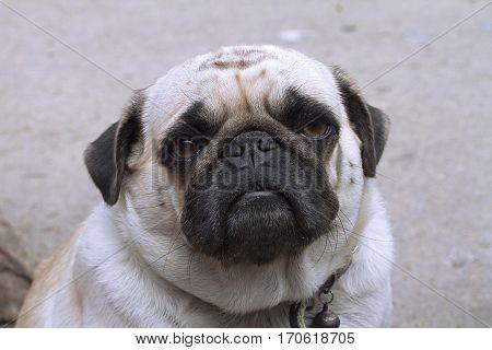 dog pet Puggy pedigreed domestic breed animal